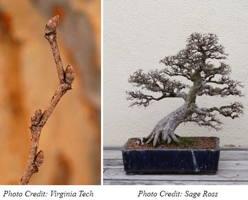 Chinese Elm Buds and Bonsai