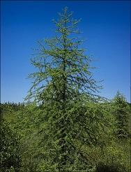 mature eastern larch