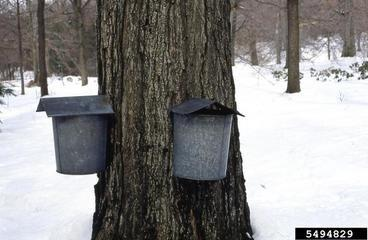 sugar maple syruping